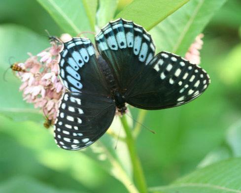 Speyeria Diana (female above) - Speyeria diana - female