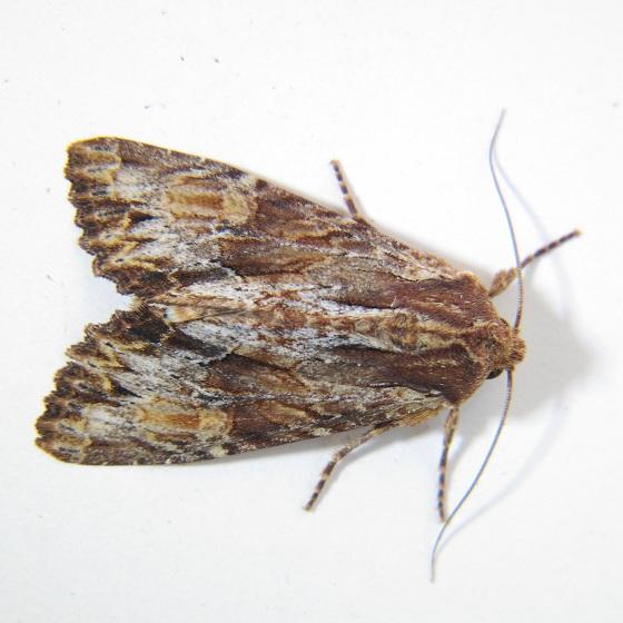 Apamea atrosuffusa - Hodges #9336 - Apamea atrosuffusa
