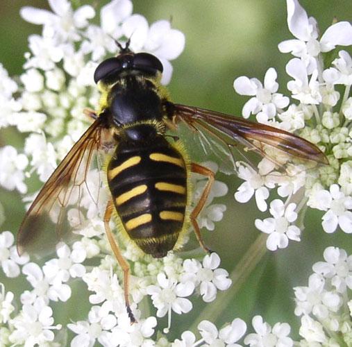 Syrphidae fly - Sericomyia chrysotoxoides - female
