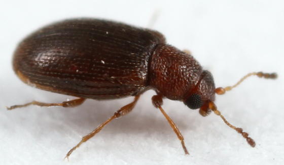 tiny beetle - Cortinicara gibbosa
