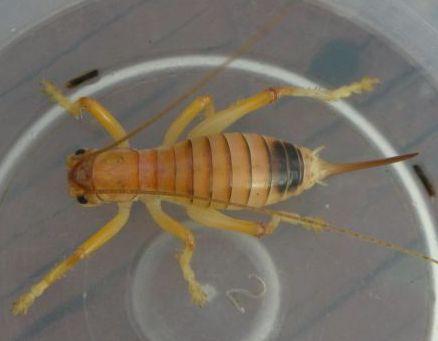 Possible Camel Cricket - Camptonotus carolinensis - female