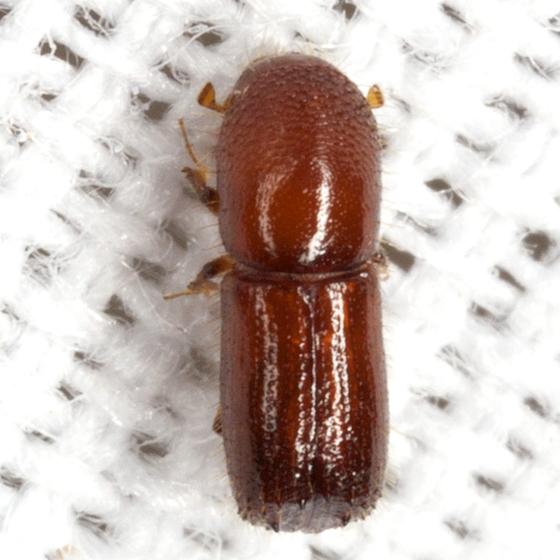 Bark Beetle - Xyleborus ferrugineus