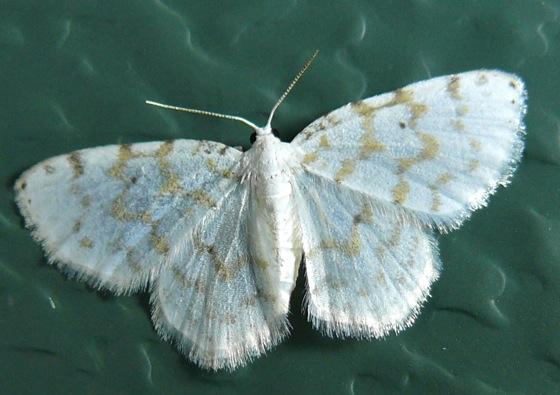 Fragile White Carpet - Hydrelia albifera