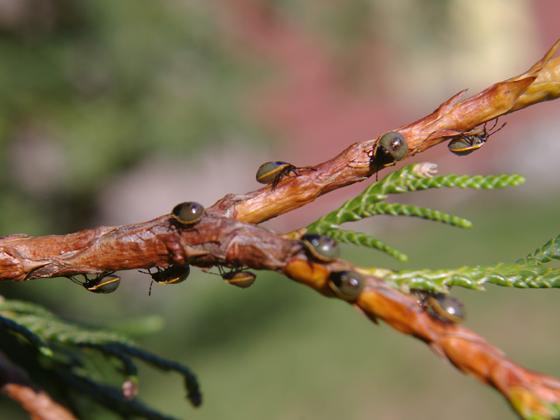 Stink Bug nymphs - Chlorochroa