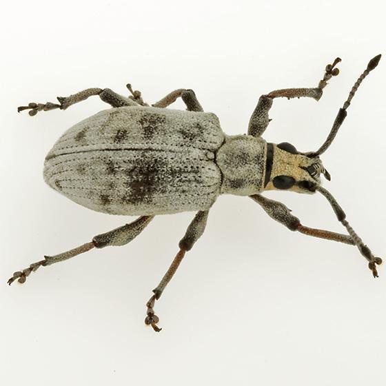 Which Sri Lanka? - Myllocerus undecimpustulatus