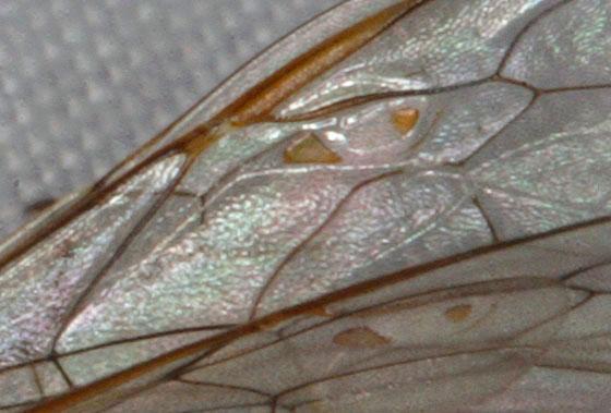 Wasp 1661 - Enicospilus purgatus