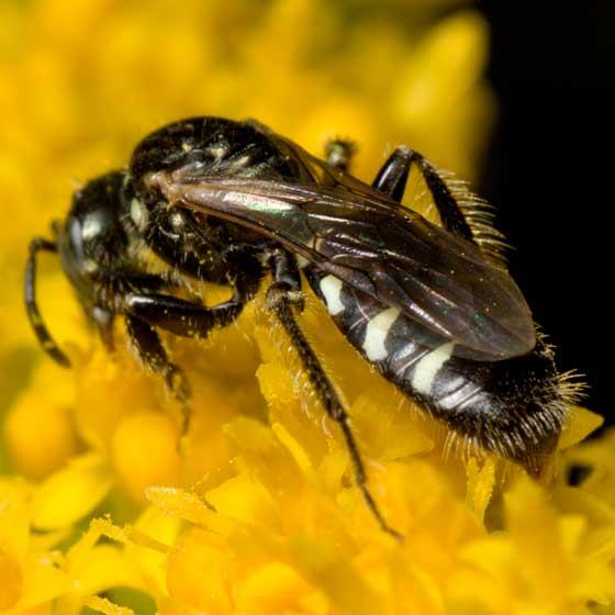 Species Perdita octomaculata - Perdita octomaculata - female