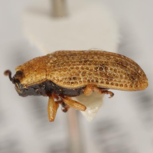 Narrow-footed Hispine - Stenopodius
