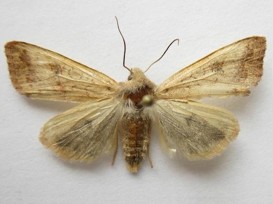 Battered Sallow Moth - Sunira verberata