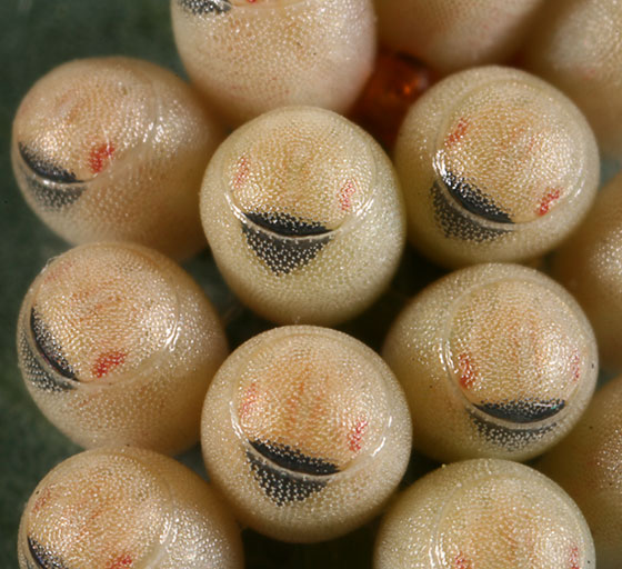 Pentatomid eggs