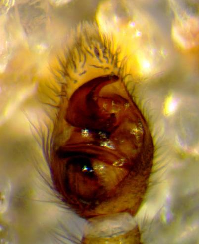 Piratula cantralli (palpe) - Piratula insularis - male