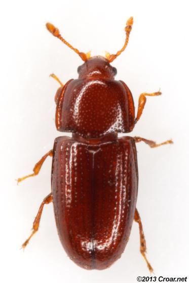 Philothermus glabriculus? - Philothermus glabriculus