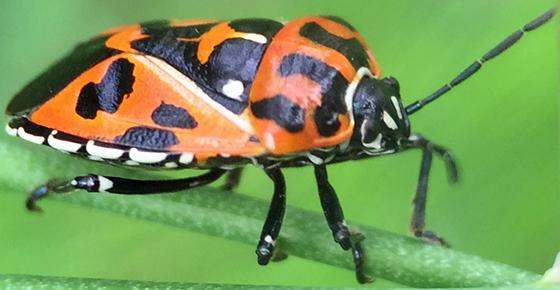 Harlequin cabbage bug (Murgantia histrionica)? - Murgantia histrionica