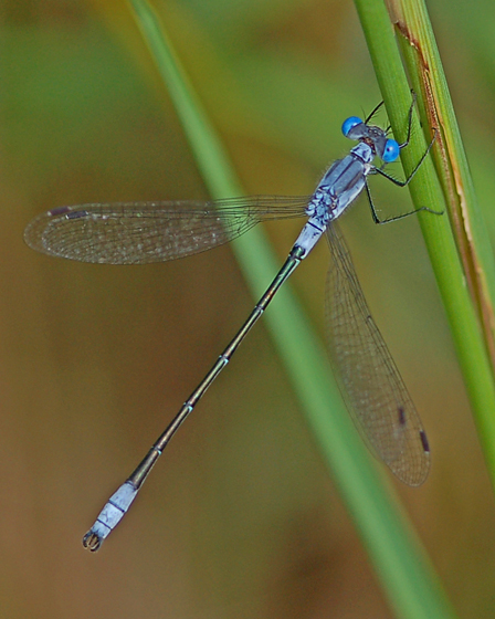 Sweetflag Spreadwing in New Brunswick - Lestes forcipatus - male
