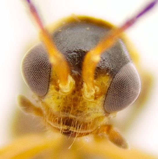 which beetle? - Trypherus latipennis