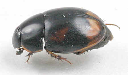 Beetle - ? - Sphaeridium scarabaeoides