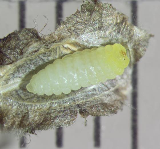 Heliozelidae, Shield Bearer Moth - Antispila