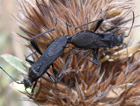 Broad-headed Bugs - Alydus eurinus - male - female