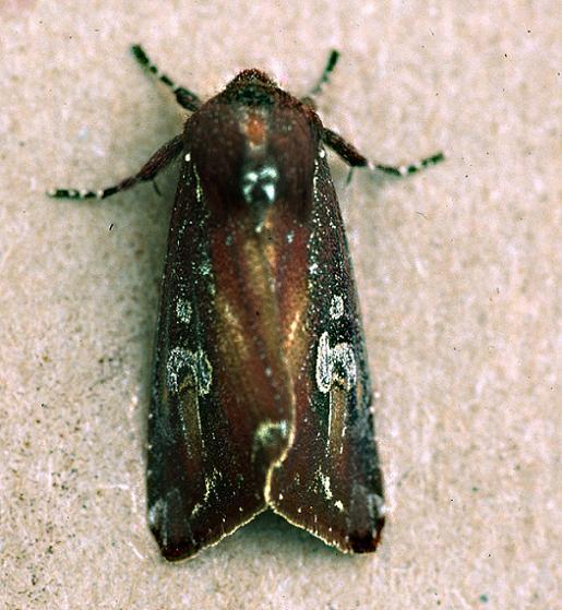 Zebra Caterpillar Moth - Melanchra picta