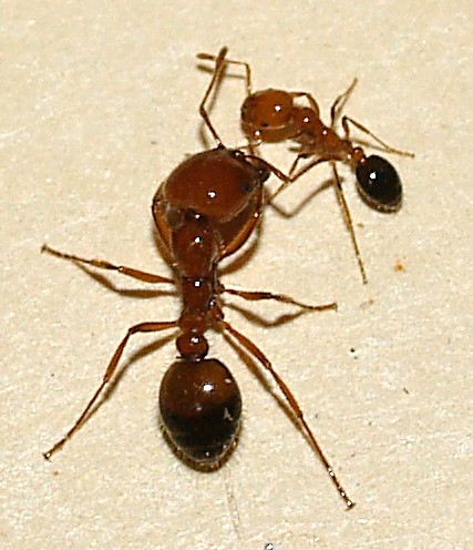 In our kitchen - Solenopsis xyloni
