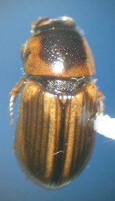 Dung beetle - Aphodius lividus - female