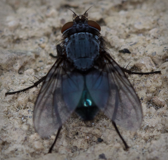 Dark Blue Fly