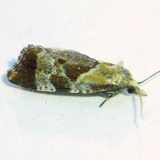 Phtheochroa vulneratana - Hodges #3826 - Phtheochroa n-sp