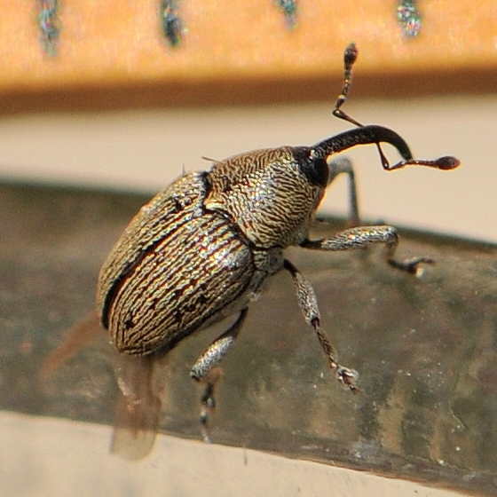 Snout Beetle - Geraeus picumnus