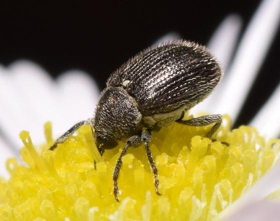 Mecinini - Cleopomiarus hispidulus