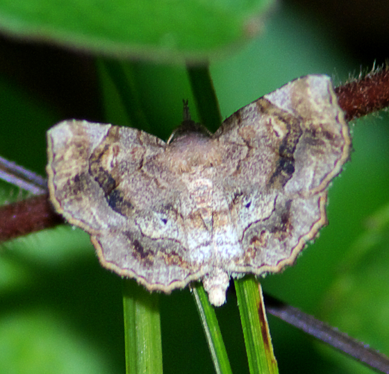 Moth - Pangrapta decoralis