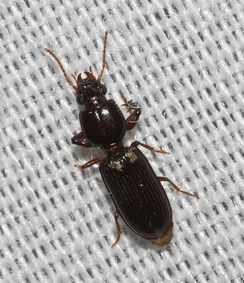 beetle unknown - Paraclivina