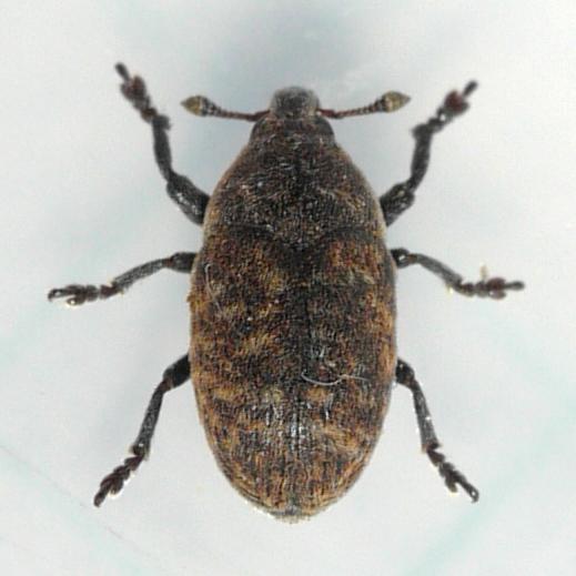 Seedhead Weevil - Larinus minutus