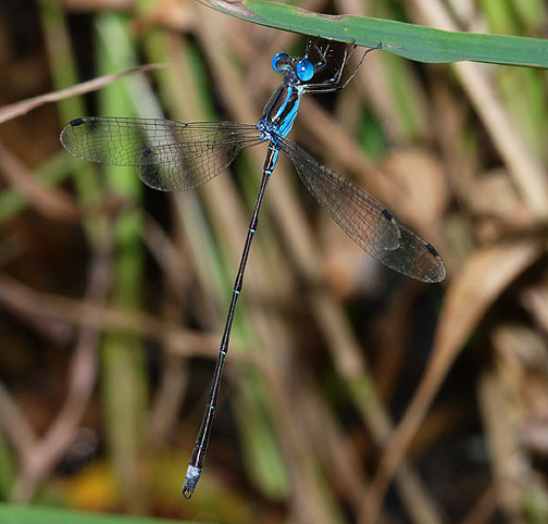 Blue-striped Spreadwing - Lestes tenuatus - male