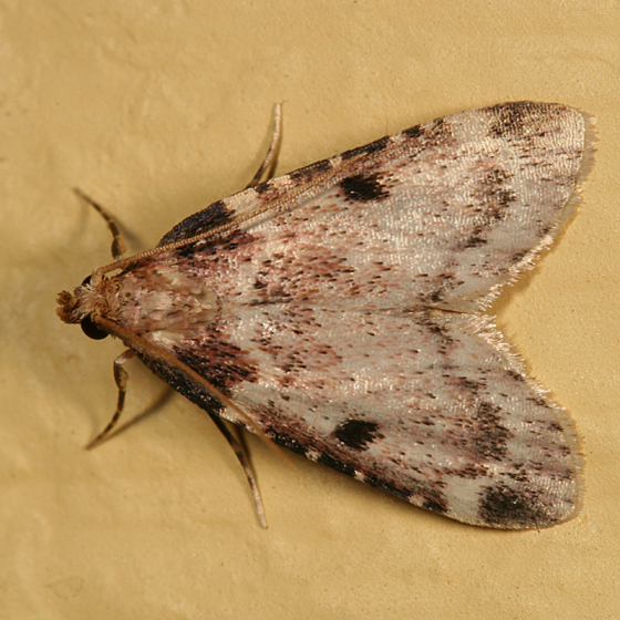 Moth - Aglossa costiferalis