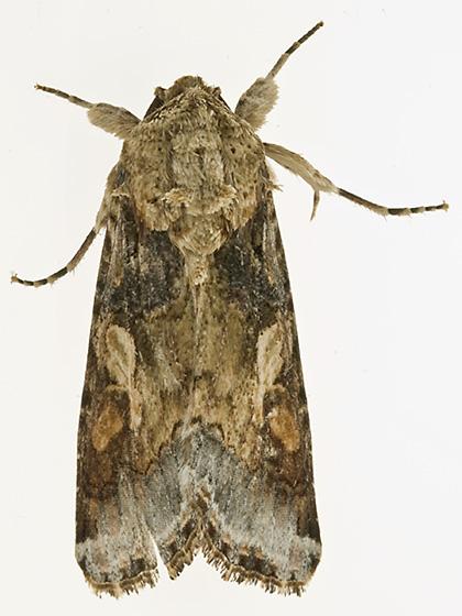 moth id - Spodoptera latifascia