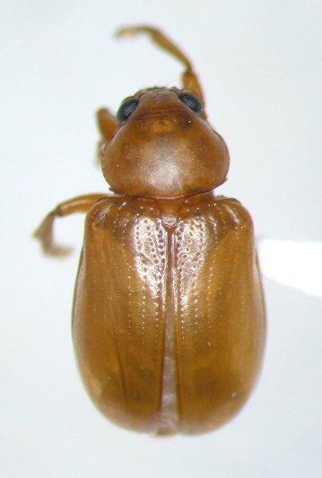 Metachroma floridanum - female