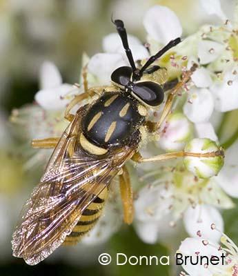 Syrphidae - Sphecomyia vittata