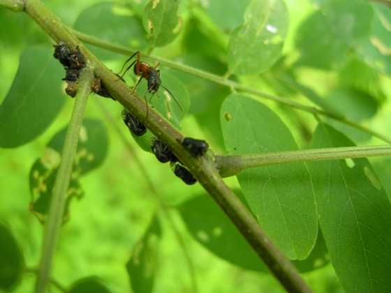Black Locust Tree Hopper and ant - Vanduzea arquata