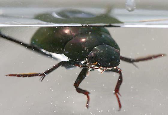 Water Scavenger Beetle - Hydrophilus ovatus