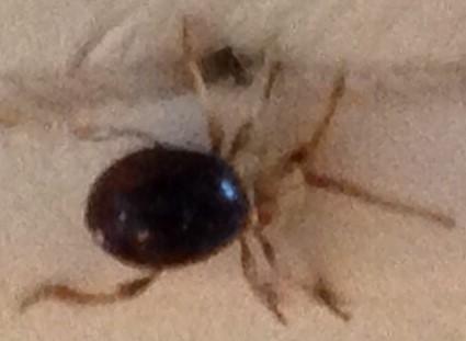 Beetle or mite?