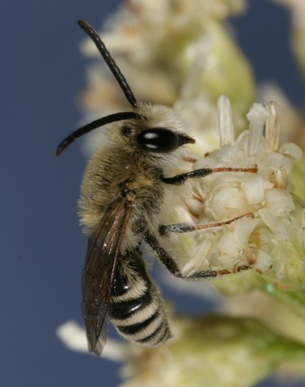 bee 79 - Colletes