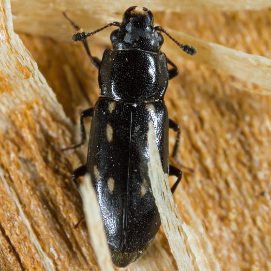 Spotted Beetle - Glischrochilus vittatus