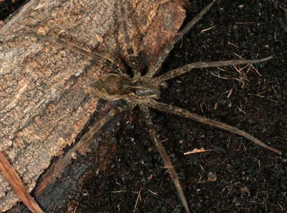 Pisaurid a - Tinus peregrinus - female