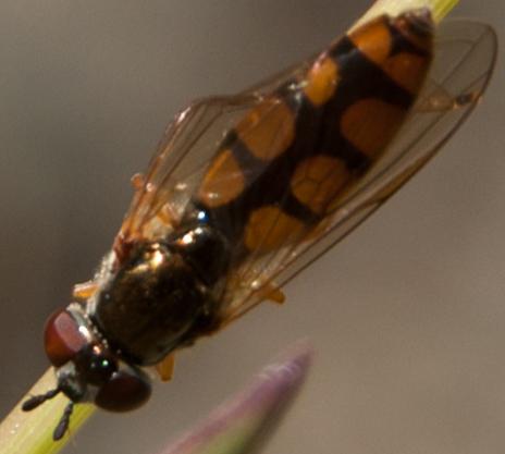 Maybe it's Melanostoma? - Platycheirus - female