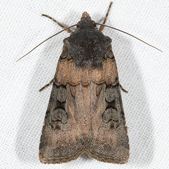 Euxoa albipennis