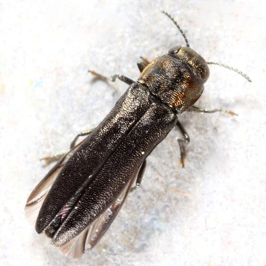 Buprestid - Agrilus defectus