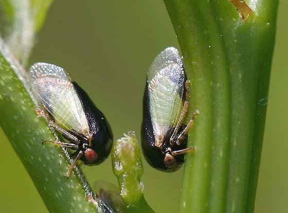 Tiny Treehoppers - Micrutalis calva