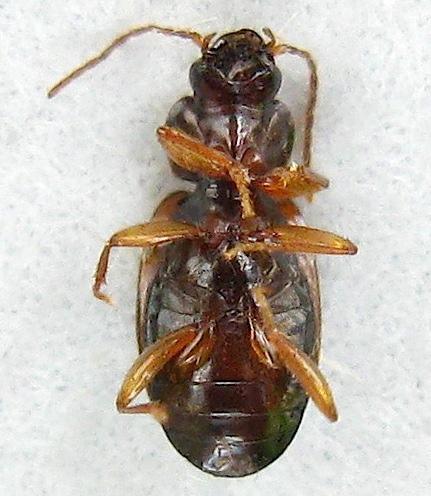 Ground Beetle - Trechus obtusus