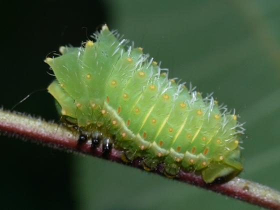 caterpillar - Actias luna