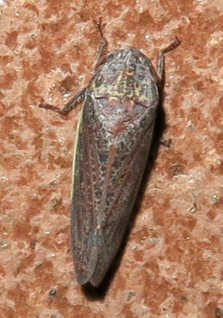 Unidentified Leafhopper - Hamana gelbata
